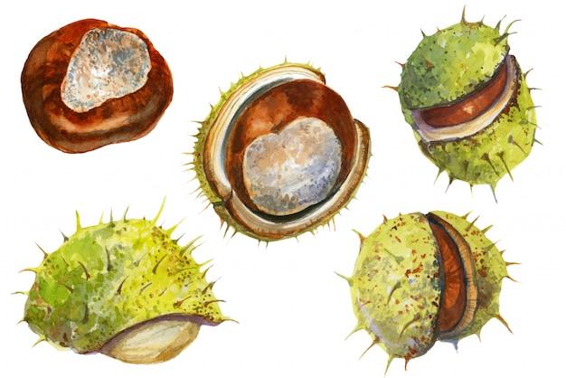 Aquarel collectie met kastanjes