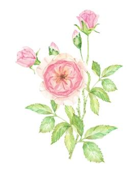 Aquarel mooie engelse roze bloem tak boeket geïsoleerd