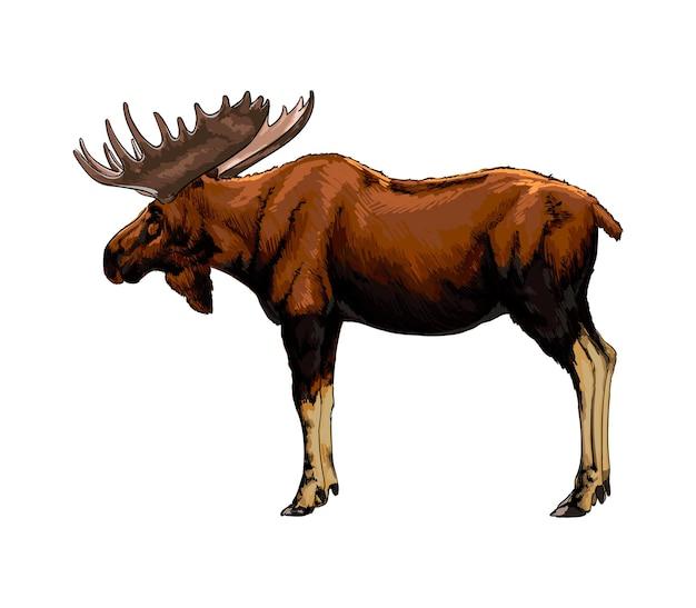 Aquarel moose op wit