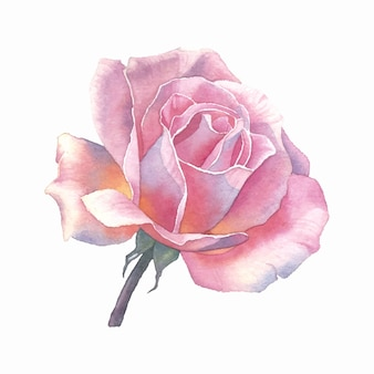 Aquarel roze roos