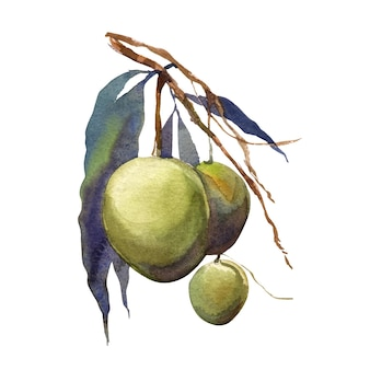 Aquarel schilderij van groene mango met bladeren