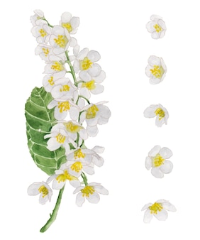 Aquarel set tak van bloeiende gewone vogelkers en witte bloemen