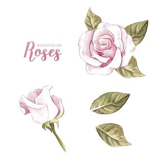 Aquarel verzameling van roos
