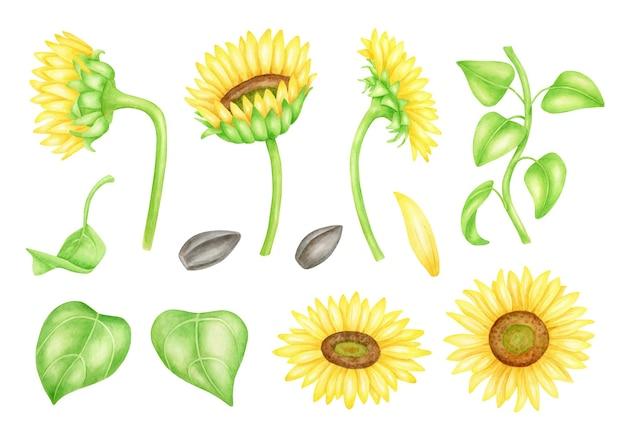 Aquarel zonnebloemen set met bladeren en oliehoudende zaden. botanische illustratie