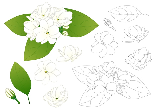 Arabian jasmine outline
