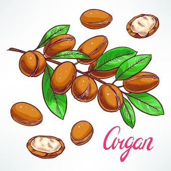 Argan boomtak met vruchten. handgetekende illustratie