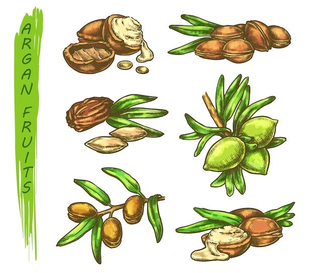 Arganvruchten schets in kleur, arganiaboom plantelementen, fruitzaden op bladtak. arganolie splash drop schets
