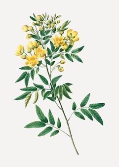 Argentijnse senna-plant