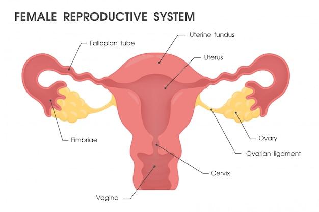 Baarmoeder. vector bestudeer de structuur van de baarmoeder.