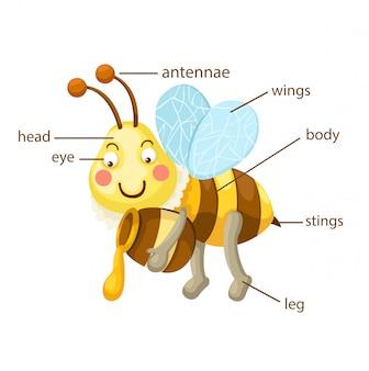 Bee vocabulaire deel van het lichaam vector
