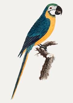 Blauw-en-gouden ara