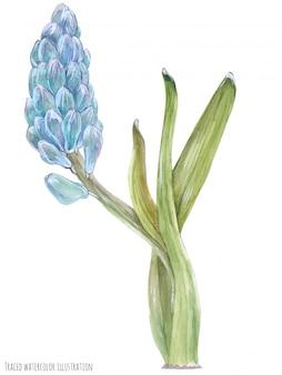 Blauwe hyacintbloemen