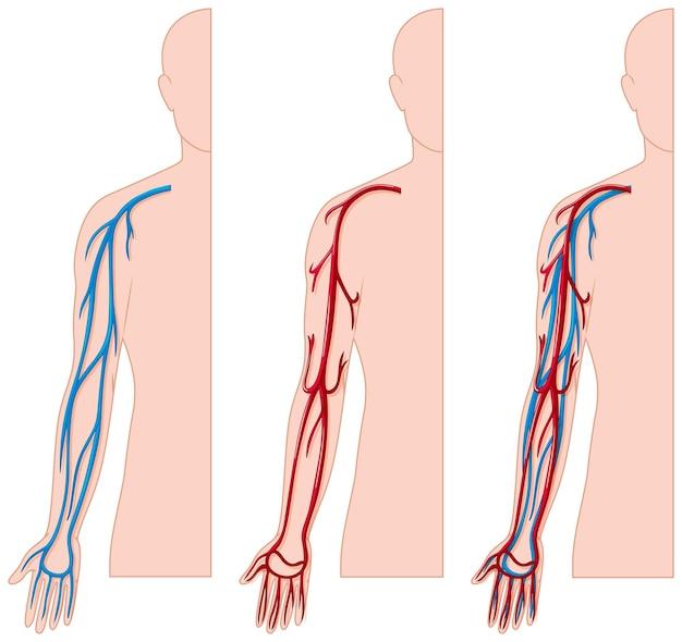 Bloedvaten in menselijke hand