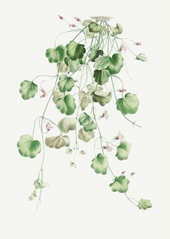 Bloeiende kenilworth ivy