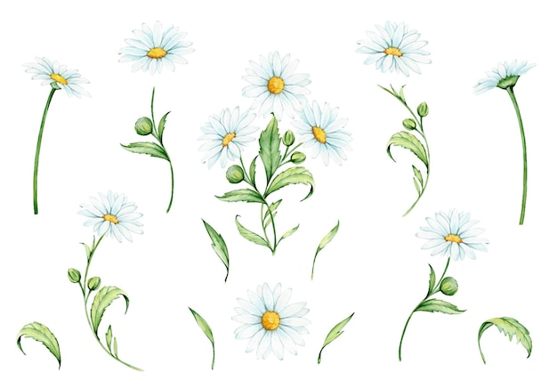 Bloemen, takken en kamilleblaadjes. aquarel set, planten, op een geïsoleerde achtergrond.
