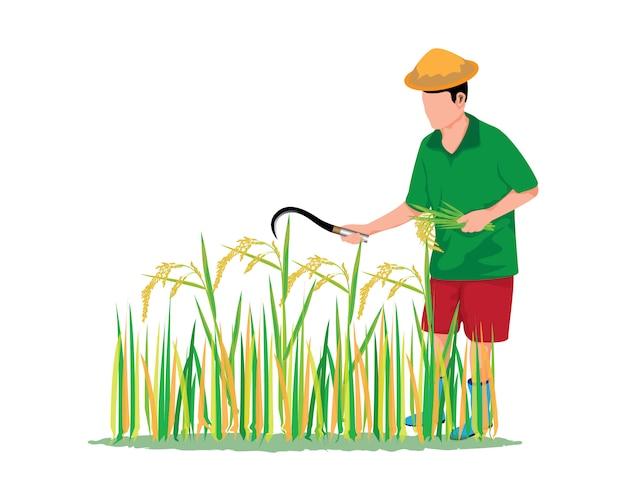 Boer oogst rijst