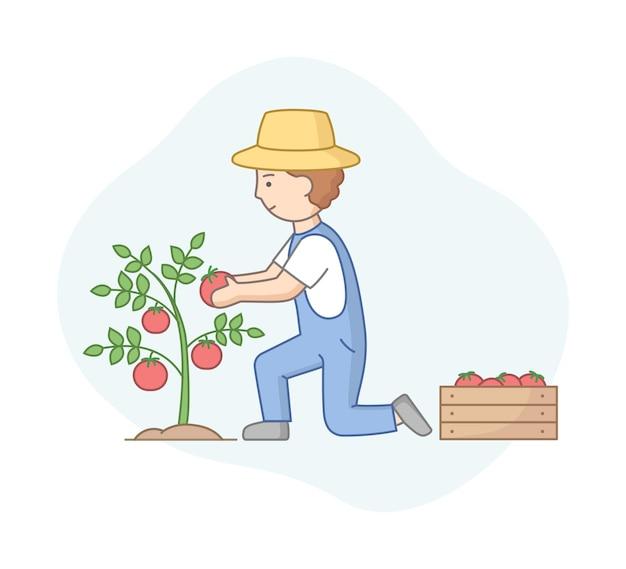 Boer rode tomaten verzamelen van struik in houten kist. mannelijk personage in overall en hoed die in market garden werkt.