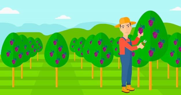 Boer verzamelt druiven.