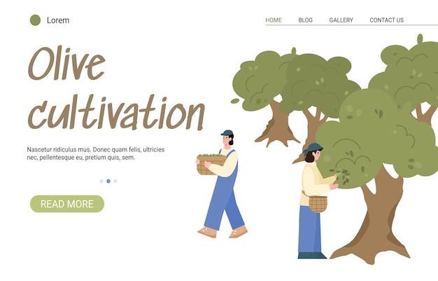 Boerderij teelt en oogst olijven voor de productie van natuurlijke voedsel olijfolie. landbouwplantage met planten en werkende boeren. vector illustratie. ontwerp voor internet.