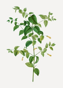 Boom fuchsia plant