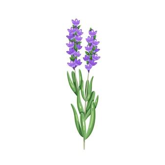 Bos van lavendel. kruiden en specerijen. aromatisch kruideningrediënt. geïsoleerde vectorillustratie in cartoon-stijl.