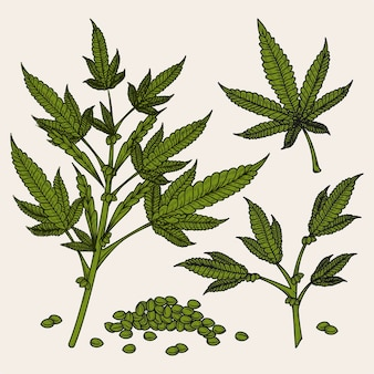 Botanische cannabisbladeren en zaden