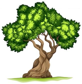 Bristlecone pijnboom