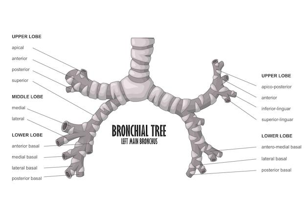 Bronchiale boom links belangrijkste bronchus menselijke anatomie