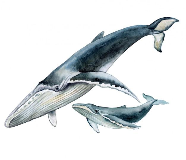 Bultrug walvis.