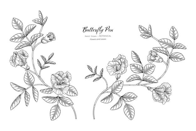 Butterfly peas bloem en blad hand getekende botanische illustratie met lijntekeningen.