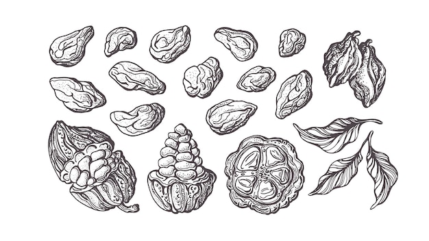 Cacao hand getekende set. chocolade ingrediënt. botanische schets van bonen, fruit, bladeren
