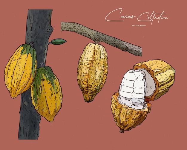 Cacao, hand tekenen schets.
