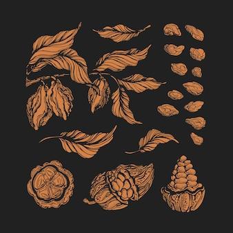 Cacao set. chocolade natuurlijk ingrediënt. botanische vorm van boon
