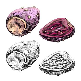 Cactusvijg schijfje en geheel. vector vintage broedeieren kleur illustratie. geïsoleerd op een witte achtergrond. handgetekend ontwerp