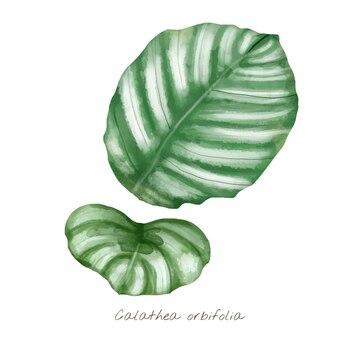 Calathea orbifolia blad geïsoleerd op een witte achtergrond