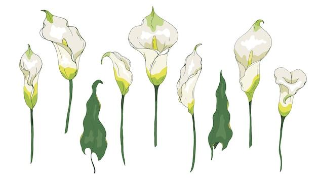 Calla leliebloem of zantedeschia, geïsoleerd op een witte achtergrond. calla bloemenelementen voor zomerontwerp.
