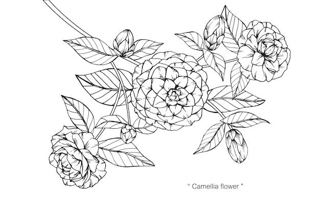 Camellia bloem tekening illustratie