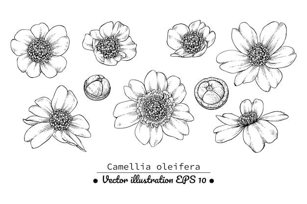 Camellia bloemtekeningen