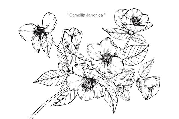 Camellia japonica-de illustratie van de bloemtekening