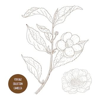 Camellia sinensis bloemen en tak. cosmetica, parfumerie en medische plant. vintage hand getekende illustratie.