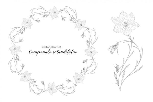Campanula rotundifolia krans