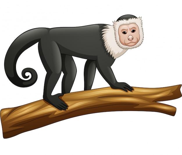 Capuchin aap op witte achtergrond wordt geïsoleerd die