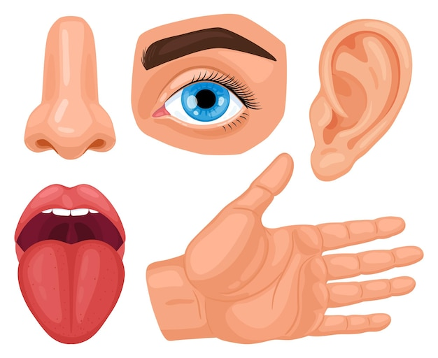 Cartoon menselijke sensorische organen. anatomie menselijke zintuigen, huidaanraking, gehoor, ogen zien, smaak tong en neusgeur