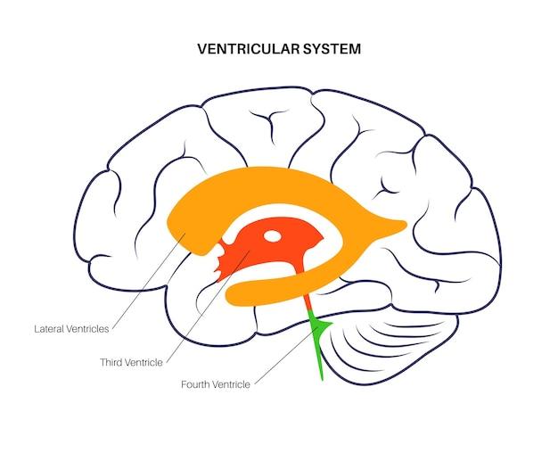Cerebrospinale vloeistoffen in de hersenen. ventriculaire systeem anatomie. cerebrale ventrikels vector illustratie