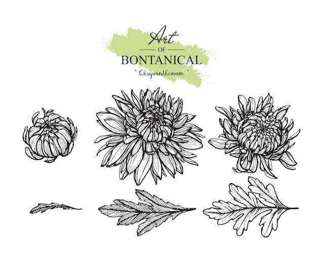 Chrysanthemum blad- en bloemtekeningen. vintage hand getrokken botanische illustraties. vector