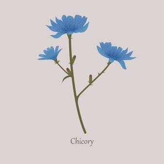 Cichorium intybus, witlof kruidachtige plant met blauwe bloemen.