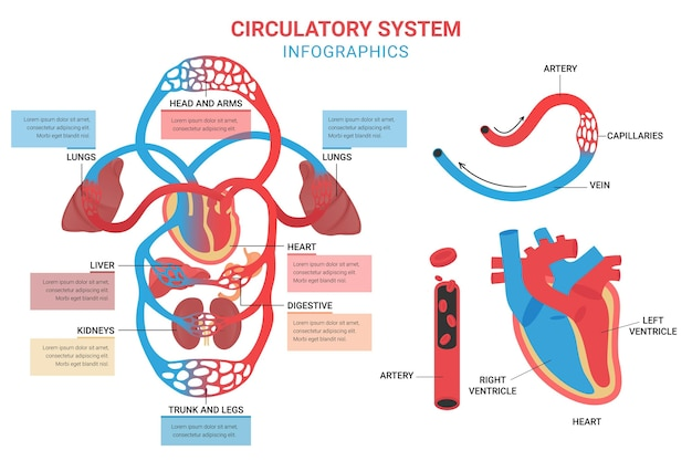 Circulatory system infographic template in flat design