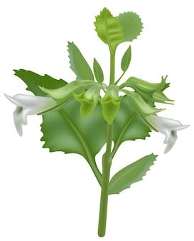 Citroenmelisse plant