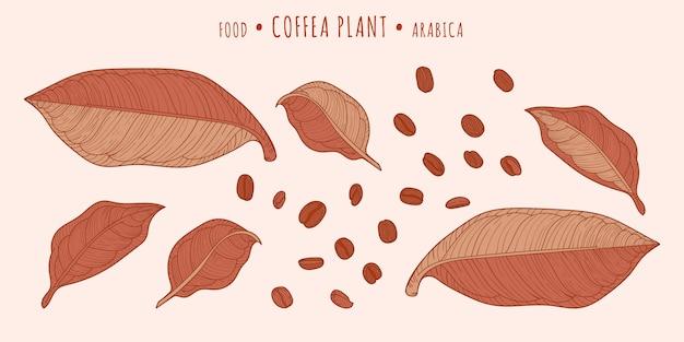 Coffea plant. koffiebonen en bladeren