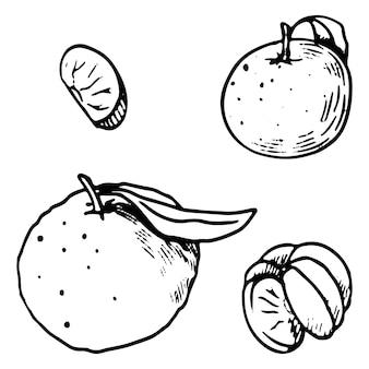 Collectie van mandarijnen, citrusvruchten. hand getekende vectorillustraties. set contourelementen geïsoleerd op wit. schetstekeningen voor ontwerp, decor, prints, stickers, kaart.